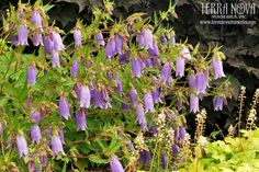 """Campanula 'Summertime Blues' - The longest blooming Campanula we've ever seen. 'Summertime Blues' has masses of large, silvery blue bells on 2 foot, upright stems… all spring, summer and fall! A clumping habit that doesn't spread or reseed. This plant gets better every year. Here's the """"cure""""for the summertime blues!"""