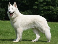 Its called a Berger Blanc Suisse. That's to long... So Its a White Shepherd...
