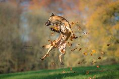 Autumn High Jump! It's not a trick ... - it's just a Malinois