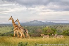 Game Lodge, Zulu, South Africa, Giraffe, Safari, Maps, How To Memorize Things, Facebook, Places