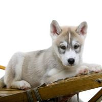 siberian husky puppy poses on sled picture