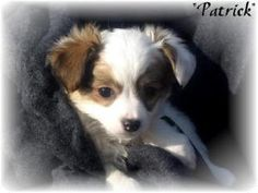 Patrick is an adoptable Pomeranian Dog in Phelan, CA. Tanya's Inc.�committed to finding loving homes! My brother and I were given to Tanya's Inc.� so that we would not be sent to the Devore Shelter.� ...