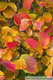 Fothergilla gardenii is another Northeast native shrub that is under-appreciated.