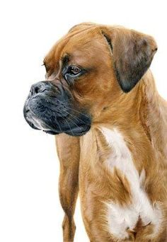 Boxer colored pencil drawing by Laura Hardie