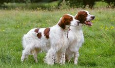 Irish Red and White Setter. They are members of the sporting group. They are great gun dogs. They stand at 22 1/2-26 inches at the shoulder and weigh about 55-75 pounds.