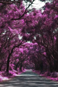 Tree tunnel, Peterborough, South Australia by Rejim Mongol Beautiful World, Beautiful Places, Beautiful Pictures, Beautiful Roads, Tree Tunnel, Purple Trees, Flowering Trees, Pathways, Amazing Gardens