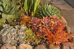 Sherman Garden Succulents- love the Echeveria