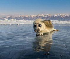 Baikal Fur Seal pup