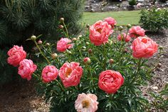 Photo of Garden Peony (Paeonia 'Coral Charm') uploaded by ARUBA1334