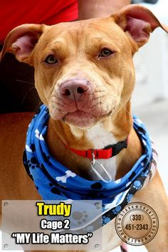 ADOPTED! :) Meet 02 Trudy, a Petfinder adoptable Pit Bull Terrier Dog | Canton, OH | Release date 7/3.  Trudy is gorgeous, looks to have been well cared for by someone, but where is...