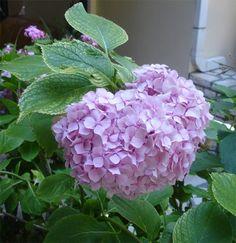 How to draw hydrangea flowers, part I: annamain