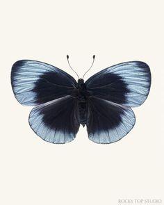Charles Darwin Butterfly Print - Callithea philotima - Blue Butterfly Photo by Allison Trentelman - Rocky Top Studio