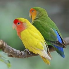 You might not feel so in love with your lovebird if he starts biting you. However, a lovebird will rarely nip for no reason. Once you figure out why he's biting, you can start to address the problem.