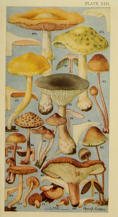 Field book of common gilled mushrooms : - Biodiversity Heritage Library Vintage Botanical Prints, Botanical Drawings, Botanical Art, Vintage Prints, Vintage Posters, Mushroom Art, Illustration Art, Illustrations, Stuffed Mushrooms