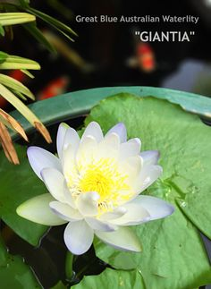 The lotus flower chaichits home pinterest lotus flower and great blue australian waterlity giantia the lotuslotus flowerslotus mightylinksfo