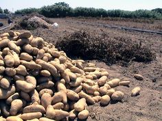 Naxos potatoes, yummoooo... They are really something else...