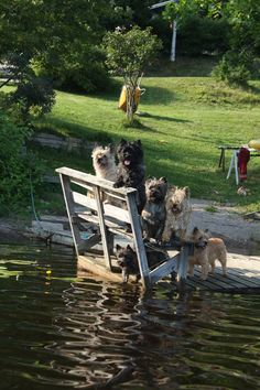 so cute Cairn Terriers