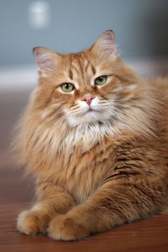 His Lordship Nigel McNugget Carruthers poses for his portrait in the corporate brochure. Pretty Cats, Beautiful Cats, Animals Beautiful, Cute Animals, Cute Cats And Kittens, Cool Cats, Grand Chat, Orange Tabby Cats, Norwegian Forest Cat