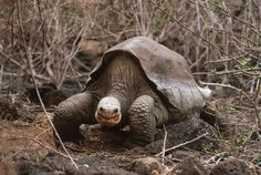 Pinta Island tortoise       In June 2012, the last surviving member of the Pinta Island tortoise community, famously known as Lonesome George, died. However, recent genetic evidence found by researchers around Eucador's Galápagos Islands have raised hope that at least one specimen of the species could be still alive and breeding.