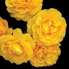 The 'Julia Child' Yellow Rose