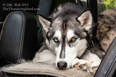 Typhoon is patiently waiting for the Hu-Dad to get the latest #Jeep adventure moving. #dog #siberianhusky #husky