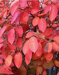 An example of beutiful autumn colour from Amelanchier lamarckii. Looking through the pins, it's easy to see how people fall in love with a plant and want to collect all of the varieties. At the moment, I'm wondering if we have room in our hedge for A. grandiflora 'Autumn Brilliance', as well. Then again, it may well be that the two I plan on buying will hybridise to create something wonderful all on their own.