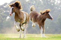 HOR 01 01 - Two Clydesdale Draft Horses Running And Bucking In Pasture - Kimballstock All The Pretty Horses, Beautiful Horses, Animals Beautiful, Beautiful Gorgeous, Beautiful Creatures, Big Horses, Horse Love, Horse Photos, Horse Pictures