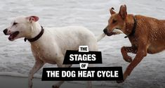 When a female comes into her dog heat cycle, or season, her body is preparing for mating and possibility of producing a litter. We tell you what happens.