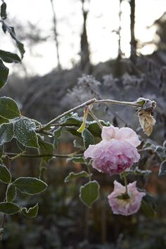 The first frost of winter 2014 at Allt-y-bela. A Touch Of Frost, Rose Queen, Garden Posts, Lasting Love, Frozen In Time, Living Off The Land, English Roses, Diy Photo, Winter Garden