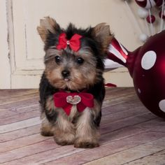 Animals - two Registered T-cup Yorkie puppies ready they are current on all shots.They are home raised puppies,all teacup Yorkie a. Loyal Dog Breeds, Top Dog Breeds, Loyal Dogs, Pet Breeds, Yorkies, Cute Puppies, Cute Dogs, Poodle Puppies, Rottweiler Puppies
