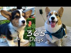 Puppyhood in 365 DAYS: A CORGI PUPPY GROWS UP! - YouTube