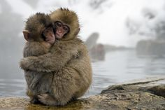 https://flic.kr/p/dWNiNY | Snow Monkeys | Japanese Macaque (Macaca fuscata) pair embracing at the edge of volcanic hot springs, Jigokudani, Joshinetsu Kogen National Park, Japan