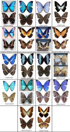 Blue Morpho Butterfly Chart - Photo by Ben Bolet Morpho Butterfly, Blue Morpho, Butterfly Baby, Butterfly Frame, Butterfly Wings, Types Of Butterflies, Beautiful Butterflies, Giant Moth, Vishuddha Chakra