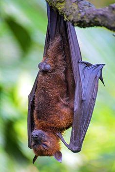 The Sleeping Bat