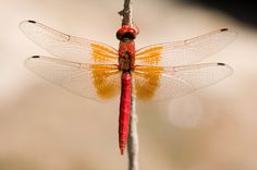 Red dragonfly..gardeners friend