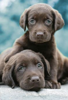 Chocolate Puppies. I will have one of these one day! So cute