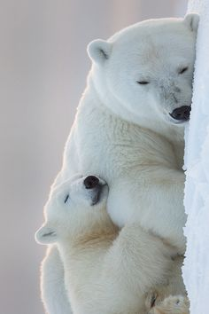 ♔ Polar Bears ~ by: Tin Man. Photo should be seen horizontally. There're on there bellies sleeping.
