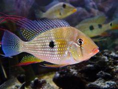 Tropical Freshwater Fish, Freshwater Aquarium Fish, Tropical Fish, South American Cichlids, Beautiful Fish, Exotic Fish, Goldfish, Fish Tank, Fresh Water