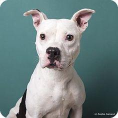 Anniston, AL - American Bulldog Mix. Meet Sassy, a dog for adoption. http://www.adoptapet.com/pet/16412608-anniston-alabama-american-bulldog-mix