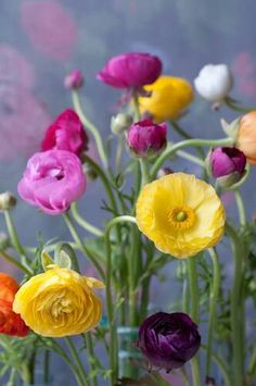 Persian buttercups - gorgeous, for my new garden.