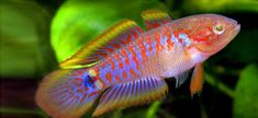 reef-aqua-design:  Peacock Goby/Gudgeon (Tateurndina ocellicauda) Seriously one of my all-time favorite fish. It's colors are so damn beauti...