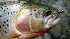 This is why they're called cutthroat trout