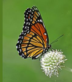 Butterflies of Oklahoma-10 Beautiful Specimens And How To Attract Them