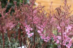 Astilbe 'Colour Flash Super' - Pink flowers in June, July, August and September. Size in 5 years 40 - 70 cm, plant in half shade. www.thepavilion.ie