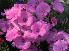 Mooie bloemen ,weet niet de naam.WIE HET WEET MAG HET ZEGGEN.