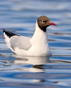Black-headed Gull - Whatbird.com