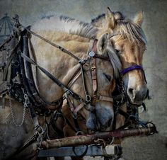 harness carriage draft horse Gyspy Vanner belgian cob shire hafflinger fjord clydesdales pinto