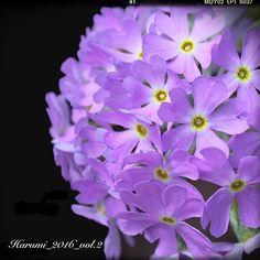 「レブンコザクラ」礼文小桜 サクラソウ科 サクラソウ属 絶滅危惧II類(VU) 自生地:北海道礼文島 by 百合が原公園 温室 2016年の春_vol.2 Rebun Kozakura Primula modesta var. matsumurae Vulnerable [VU] Habitat : Hokkaido Rebun Island by Yurigahara Park Greenhouse Spring of 2016_vol.2 #花 #春 #桜 #北海道 #礼文島 #百合が原公園 #温室 #flower #spring #cherryblossom #hokkaido #rebunisland #yurigaharapark #greenhouse #vulnerable