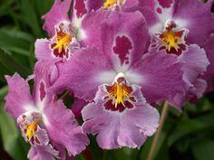 Vuylstekeara Orchid | File:A and B Larsen orchids - Vuylstekeara Fall In Love Dscn3501.jpg