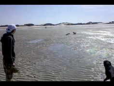Pet Friendly Cape Cod, Massachusetts - Videos: Dogs at Chapin Beach- check out our website for all your pet friendly vacation needs! http://www.petfriendlycape-cod.com/videos.html